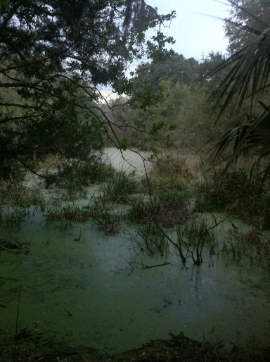 Alligator swamp on the Willow Pond Loop